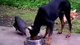 Doberman Pinscher Protect His Food Stealing By Chickens! Cute