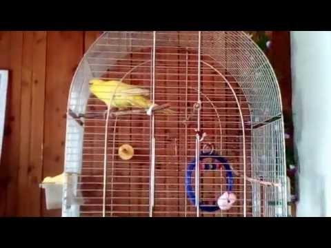 Какарики поёт / Kakariki Sings