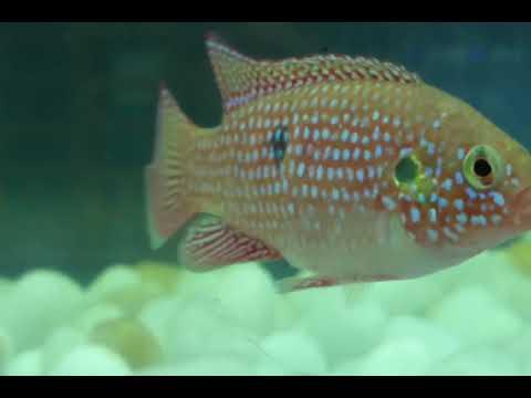 #Jewel #fish #breeding Moment