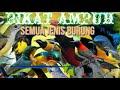 Pikat Ampuh Semua Jenis Burung  Mp3 - Mp4 Download