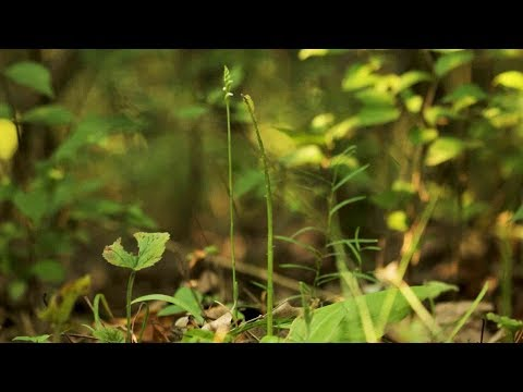 In Search of a Parasitic Orchid