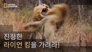야생의 헤비급 챔피언, 사자의 결투