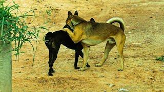Dog Mating On the Street Side_ SEASONAL BREEDING Mess UP Dog Somewhere #40