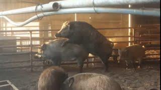 멧돼지 사육