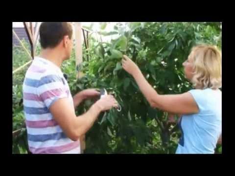 Плодовые деревья виды, сорта и разновидности