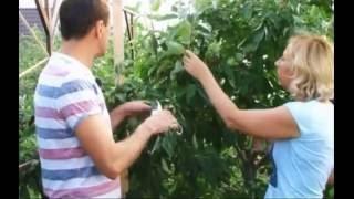 Колоновидные карликовые яблони.(Посадка, уход, сорта., 2016-08-31T07:19:44.000Z)