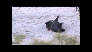 hog and ram killshot at the quatro b hunting ranch dhanis tx