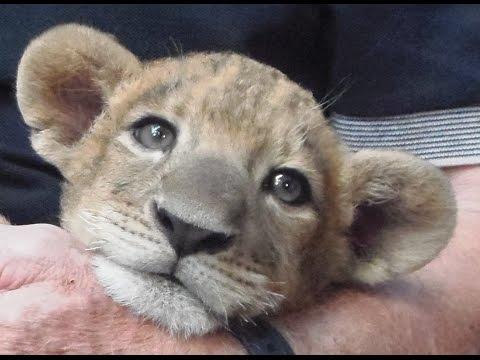 Cute Lion Cub hear me ROAR & Chatter