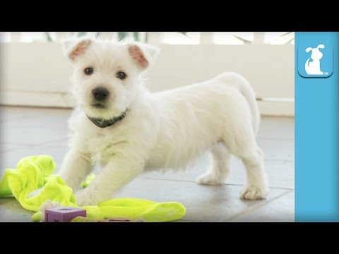 West Highland Terrier Puppies Are the Absolute Cutest Puppies in the World  Puppy Love