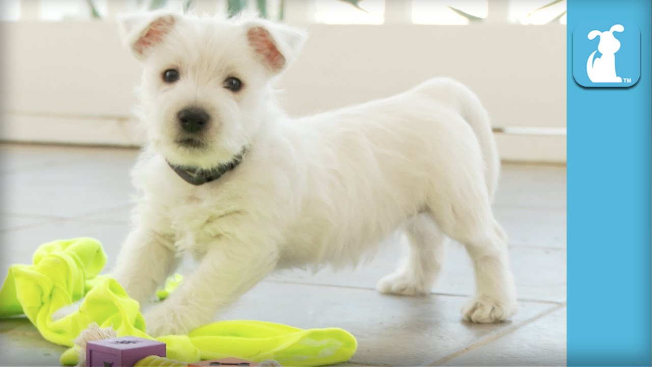 West Highland Terrier Puppies Are The Absolute Cutest In World Puppy Love You