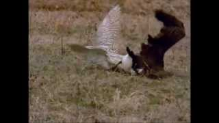 Repeat youtube video FALCON VS LARGE CANADA GOOSE