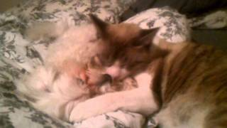 My Ragdol Cat Licking My Maltese Dog.