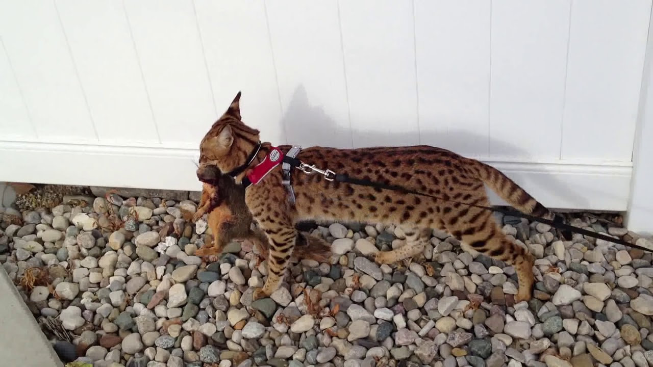 What Are Savannah Cats Like As Pets