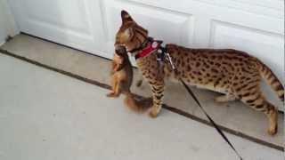 F1 Savannah Cat and Squirrel