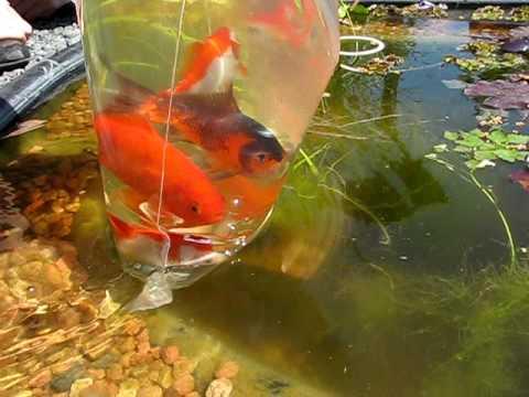 Reiger gaat vissen in vijver doovi for Vissen vijver