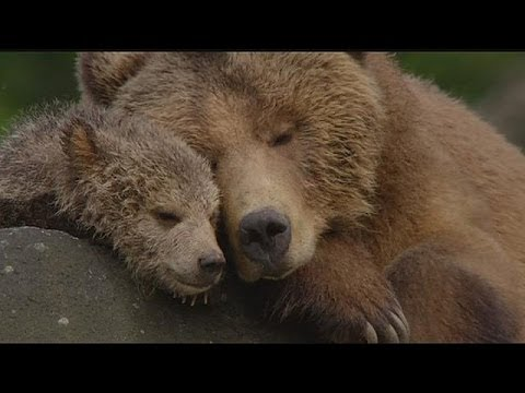 'Bears': bear cub's life in Alaska - cinema