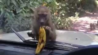 this monkeys is so hungry try to eat banana which is in car