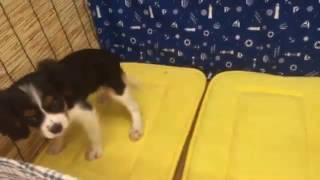 犬種 キャバリアキングチャールズスパニエル 生年月日 2016/05/05 性別 ...
