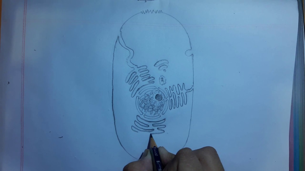 How to draw animal cell.step by step.very easy - YouTube