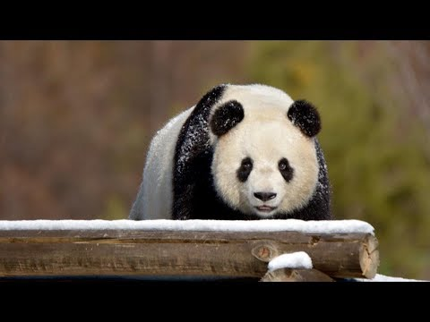 Snow refreshes giant pandas in northeast China