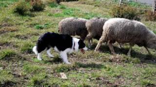 羊を追うボーダーコリー君の活躍.