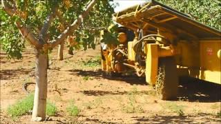Pistachio Harvesting in New Mexico