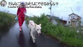 2018年5月19日朝、マロとケンコの散歩は雨の中だよ。ケンコちゃんは汚れ...