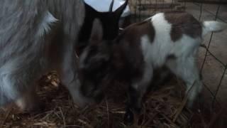 Chèvre naine avec ses deux bébés chevreaux