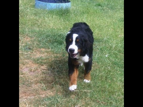 Bernese Mountain Dog Murphy.