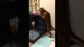 アイリッシュセッター #irishsetter #犬 #puppy.