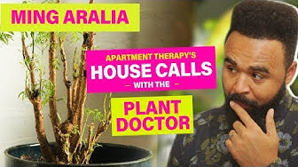 Kelsey's Ming Aralia | House Calls With The Plant Doctor | Apartment Therapy