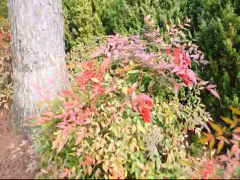 Red FallBerries Nandina and Winterberry Hollies
