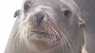 Sea Lion Rehabilitation @ Island Wildlife, Salt Spring Island