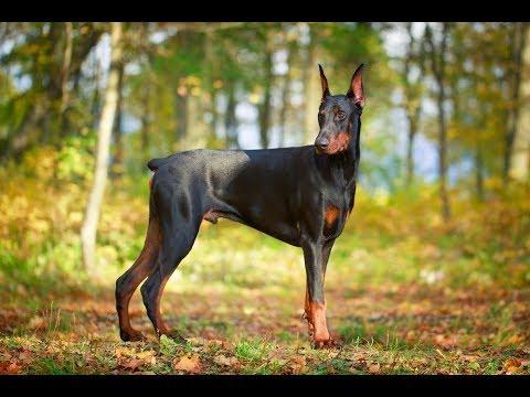 كل المعلومات عن كلاب الدوبرمان Doberman Pinscher