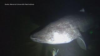 Seltene Aufnahmen: Forscher stoßen in der Tiefsee auf 142 Grönlandhaie
