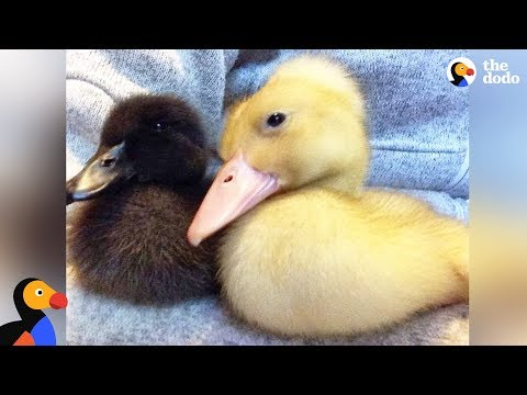 Rescued Duck Sisters Get Their Own Little House | The Dodo