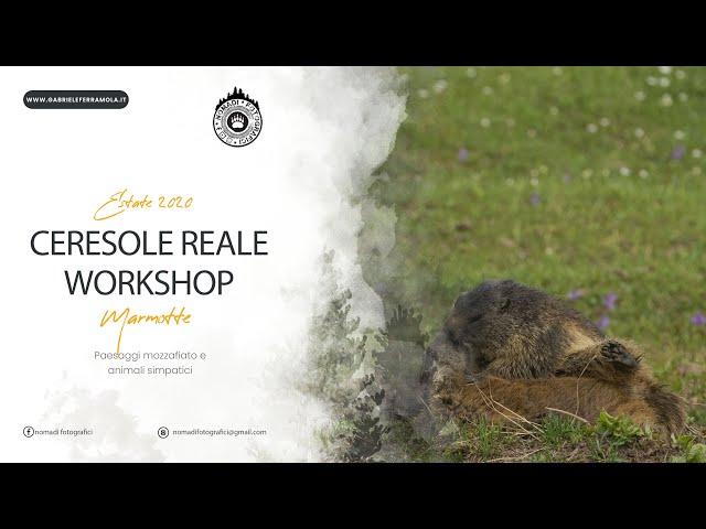 Marmotte litigiose