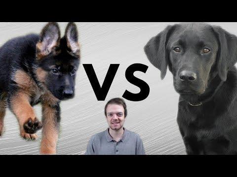 German Shepherd vs Labrador Retriever - Comparsion