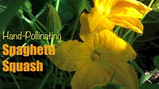 Spaghetti Squash: Hand-Pollinating to Prevent Fruit From Dying