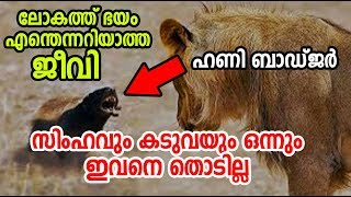 Honey Badger Fearless Animal in the World | ഹണി ബാ...