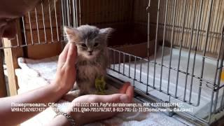 Котенок с панлейкопенией борется с болезнью он жалобно кричит взывая о помощи