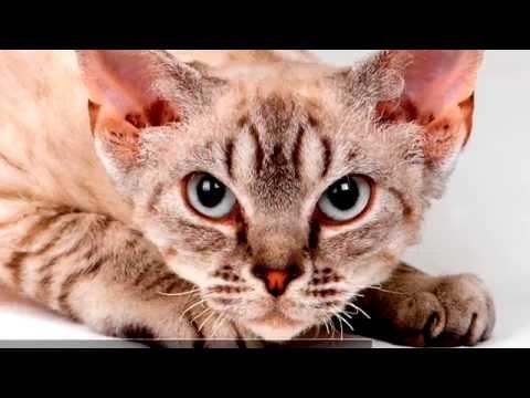 Порода кошек. Девон рекс. Внешнее напоминает сказочного героя.Не вызывает аллергии у людей