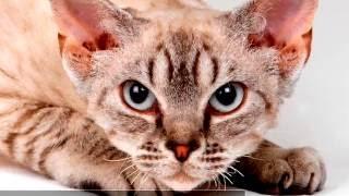 видео Гипоаллергенные кошки и коты, не вызывающие аллергию