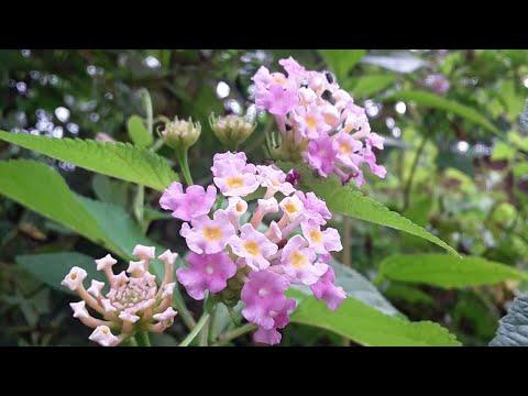 Assam Natural Flowers Video HD