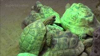 Zoo Duisburg, Schildkröten beim Sex