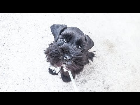 Cody the Miniature Schnauzer Puppy Showing Off His Skills