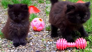 Persian Kitten playing outdoors for the first time!