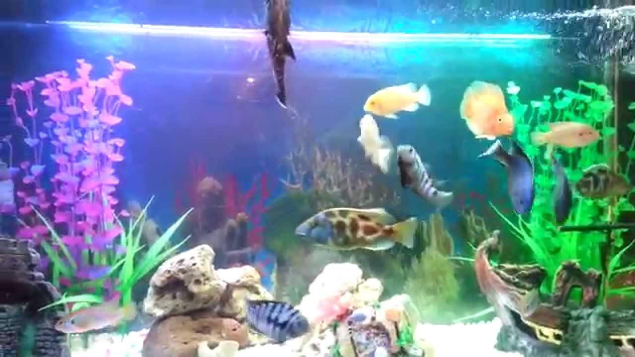Aquarium poissons cichlides dz youtube - Poisson shark aquarium ...