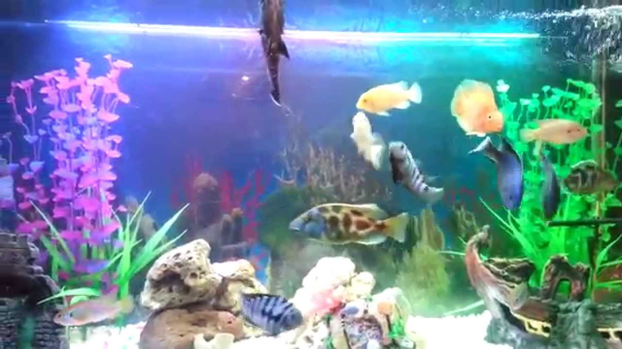 Aquarium poissons cichlides dz youtube for Aquarium a poisson