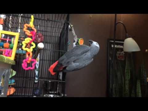 Syd the African Grey Parrot being crazy